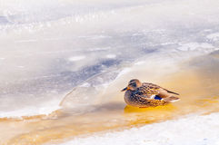 Female Duck on the Ice Stock Photo