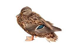 Female duck Royalty Free Stock Photo