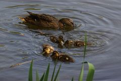 A female duck with its ducklings. Which swim quietly some behind the others. They are in the pond of the mute. The lake is situated to Elancourt, it is a French Stock Image