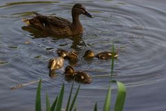 A female duck with its ducklings. Which swim quietly some behind the others. They are in the pond of the mute. The lake is situated to Elancourt, it is a French Royalty Free Stock Photo