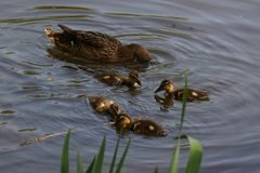 A female duck with its ducklings - Front view - France. A female duck with its ducklings which swim quietly some behind the others. They are in the pond of the Royalty Free Stock Photography