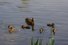 Ducklings swin in the lake - Bassin de la muette - France. A female duck with its ducklings which swim quietly some behind the others. They are in the pond of Royalty Free Stock Photos