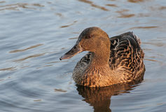 Female duck on lake. Female duck close up on a calm lake Stock Photo