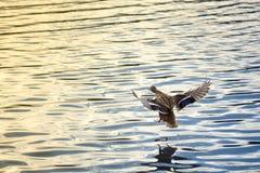Female duck landing Royalty Free Stock Photos