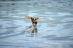 Female duck lands in the middle of the lake royalty free stock photography