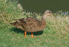 Female duck looking for food Stock Image