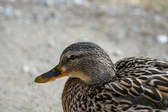 Female duck is looking for food by the lake. A female duck is looking for food by the lake Royalty Free Stock Image