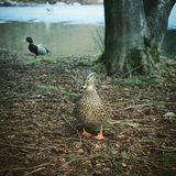 Female duck with male in blurred background stock photography