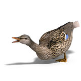 Female duck mallard attacks. 3D rendering with clipping path and shadow over white Stock Photo