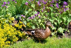 Female duck mallard among flowers. Closeup female duck mallard (Anas platyrhynchos) among flowers Stock Images