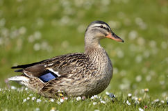 Female duck mallard on grass Stock Images