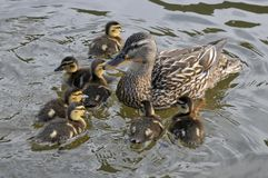 Female duck mallard with its ducklings. Closeup female duck mallard (Anas platyrhynchos) swimming with its ducklings Royalty Free Stock Photos
