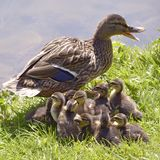 Female duck mallard with its ducklings on grass Stock Photo