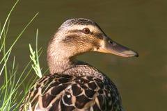 Female Duck (Mallard) On A Nest Stock Image