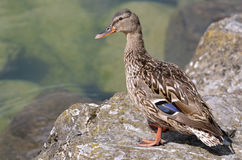 Female duck mallard on rock. Closeup female duck mallard (Anas platyrhynchos) standing on rock near the edge of a lake Stock Photo