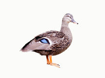 Female Duck On White Stock Photo