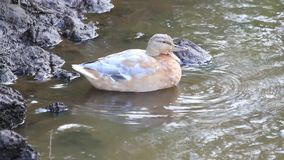 Female duck in a pond stock video