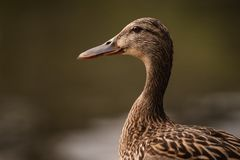 Female duck portrait on blurred background stock photo