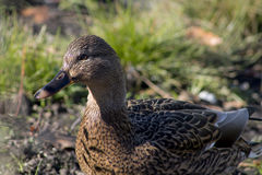 Female duck relaxing. Female duck sitting around on a clear sunny day posing for a nice picture stock images