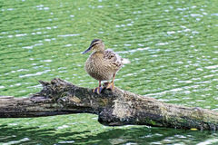 Female Duck resting on a log. Duck on the lake. Duck on the lake. Duck standing on a log. Female Duck resting on a log Stock Photos