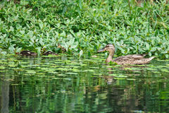 A female duck and several baby ducks. Are foraging in a lake Stock Photo