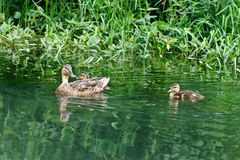 A female duck and several baby ducks. A female duck and several baby duck are swimming on a lake Stock Image