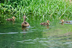 A female duck and several baby ducks. A female duck and several baby duck are swimming on a lake Royalty Free Stock Photography