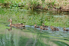 A female duck and several baby ducks Royalty Free Stock Image