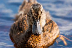 Female duck staring. Female wild duck staring at the camera Stock Images