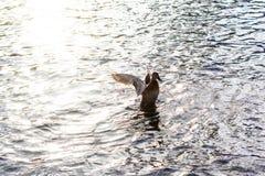Female duck. Start its flight Stock Image