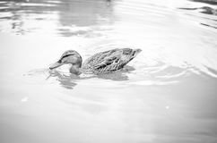 Female duck stipping into water. In black and white stock image