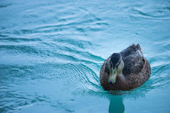 Female duck swimming on blue water of river. In austria Stock Images