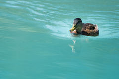 Female duck swimming on cyan water Royalty Free Stock Image