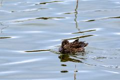 Female duck swimming Royalty Free Stock Photography