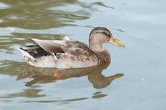 Female Duck swimming on the pond Royalty Free Stock Photo