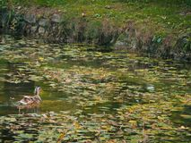 Female duck swimming in pond. Female duck swimming in green pond Royalty Free Stock Images