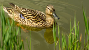 Female duck swimming in the pond towards the grassy bank. A female wild duck swimming in the pond trying to get on the grassy bank royalty free stock photos