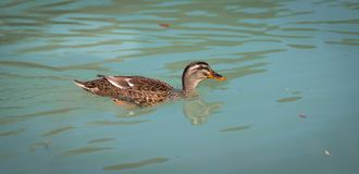 Female duck is swimming in a river, blue water and blurry copse. Female duck is swimming in the colourful blue river bird animal water wildlife lake indian maple stock image