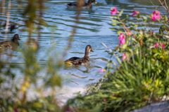 Female duck is swimming in a river, blue water and blurry copse. Female duck is swimming in the colourful blue river bird animal water wildlife lake indian maple stock photos