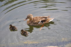 Female duck with two babies Royalty Free Stock Photos