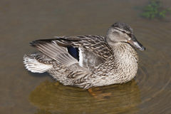 Female duck Royalty Free Stock Photo