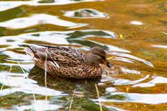 A Female Duck on the Water. A Female Duck alone on the Water Stock Photography