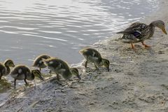 Female and ducklings of ducks mallard on the lake shore looking for food. Family of ducks mallard on the lake shore looking for food Stock Photos