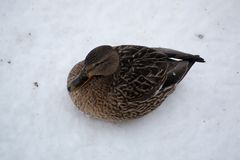 Female ducks covered with snow. Sits on the snow Stock Image