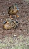 Female ducks. Stock Photo