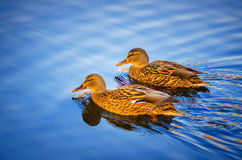 Female ducks. Two female ducks in a blue pond Royalty Free Stock Images