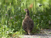 Female Dusky Grouse Stock Images