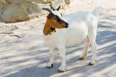 Female of dwarf goat. Royalty Free Stock Photos
