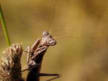 Female dwarf mantis (Ameles sp.) Stock Images