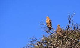 A pair of tawny eagles roosting in a thorn tree in a national park in Namibia. stock photo